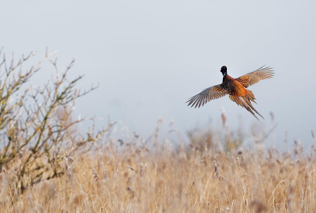 Fasan-Common-pheasant-Olympus-E-M1MarkII-2184387-DxO.jpg