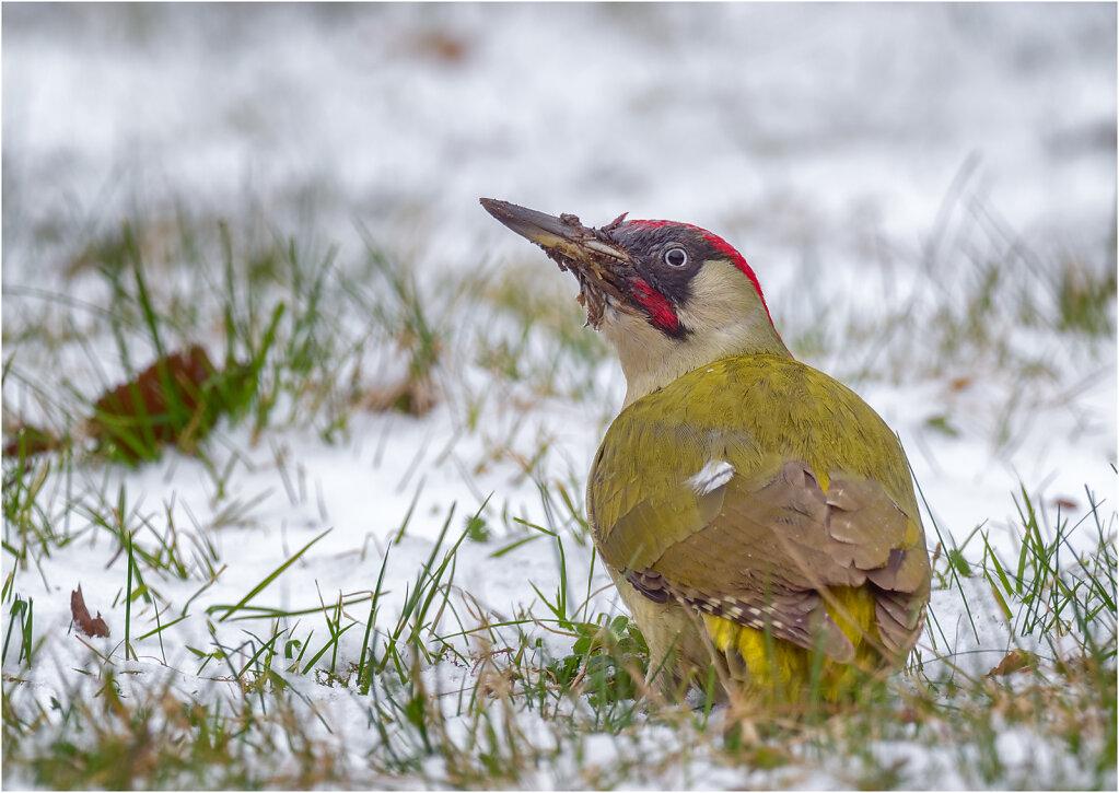 Grunspecht-Picus-viridis-European-green-woodpecker-Olympus-E-M1MarkII-3170140-DxO-Bearbeitet.jpg