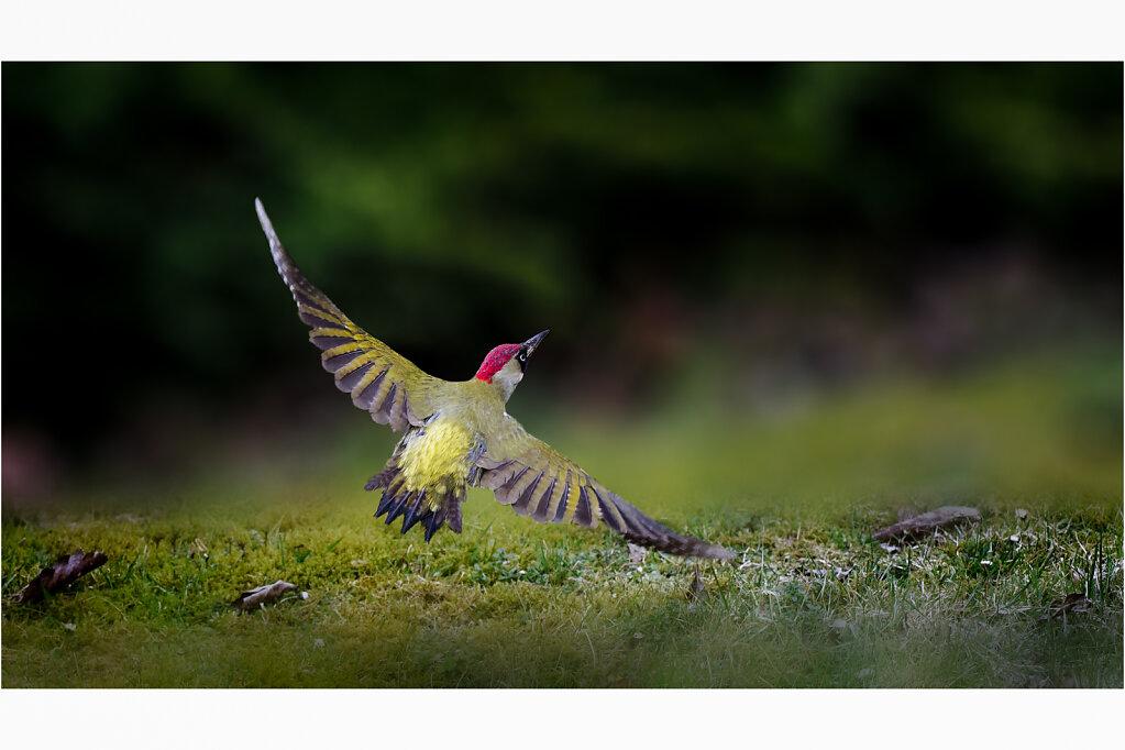 Gruenspecht-Picus-viridis-European-green-woodpecker-Olympus-E-M1MarkII-4013519-DxO-Bearbeitet2-Bearbeitet.jpg