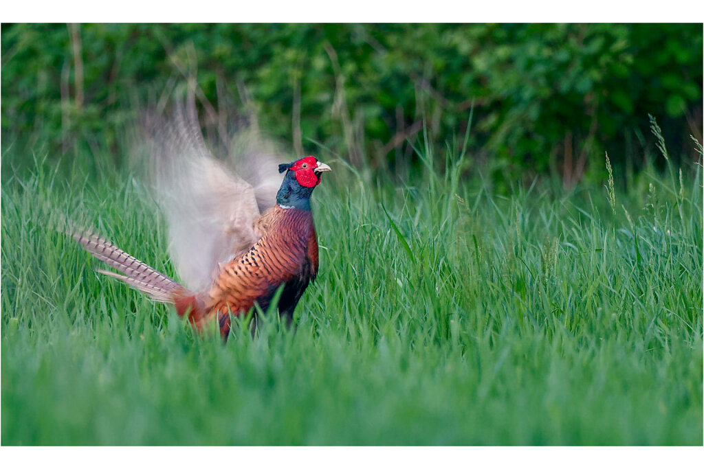 Fasan-Common-pheasant-Olympus-E-M1MarkII-5015212-DxO-Bearbeitet.jpg