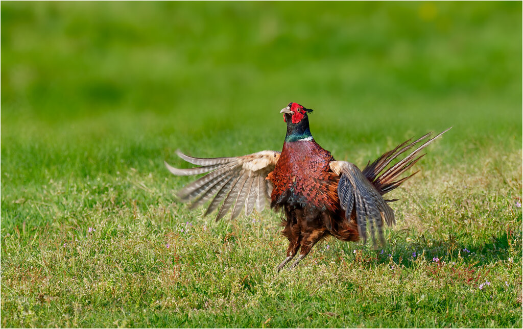 Fasan-Common-pheasant-Olympus-E-M1MarkII-5092741-DxO.jpg