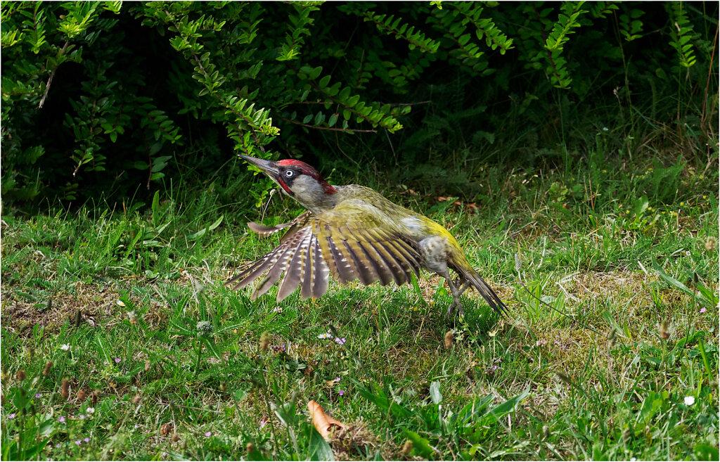 Grunspecht-Picus-viridis-European-green-woodpecker-Olympus-E-M1MarkII-6231823-DxO.jpg