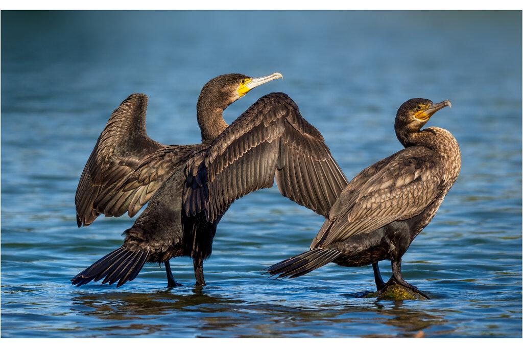 Kormoran - Great cormorant
