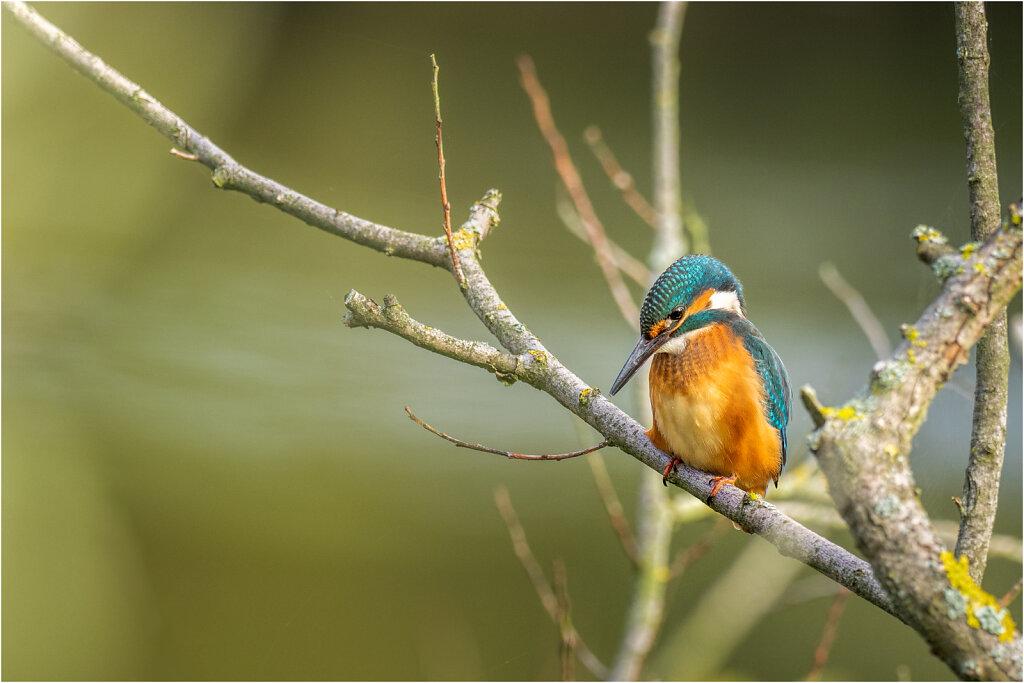Eisvogel-Kingfisher-Olympus-E-M1l-034727-Bearbeitet.jpg
