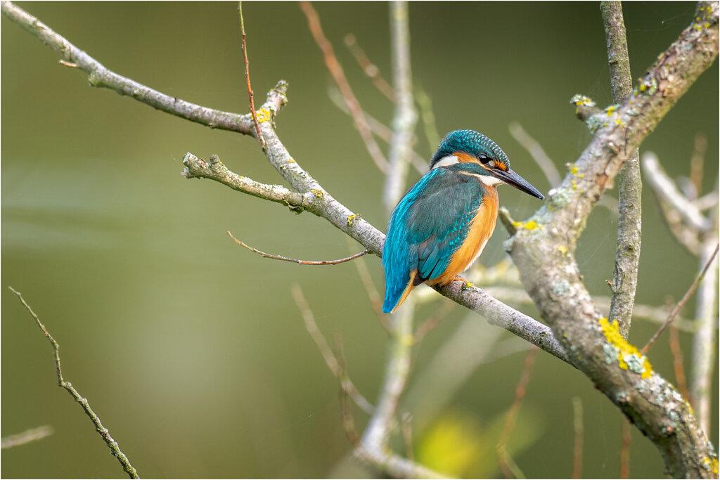 Eisvogel-Kingfisher-Olympus-E-M1-034802-Bearbeitet.jpg