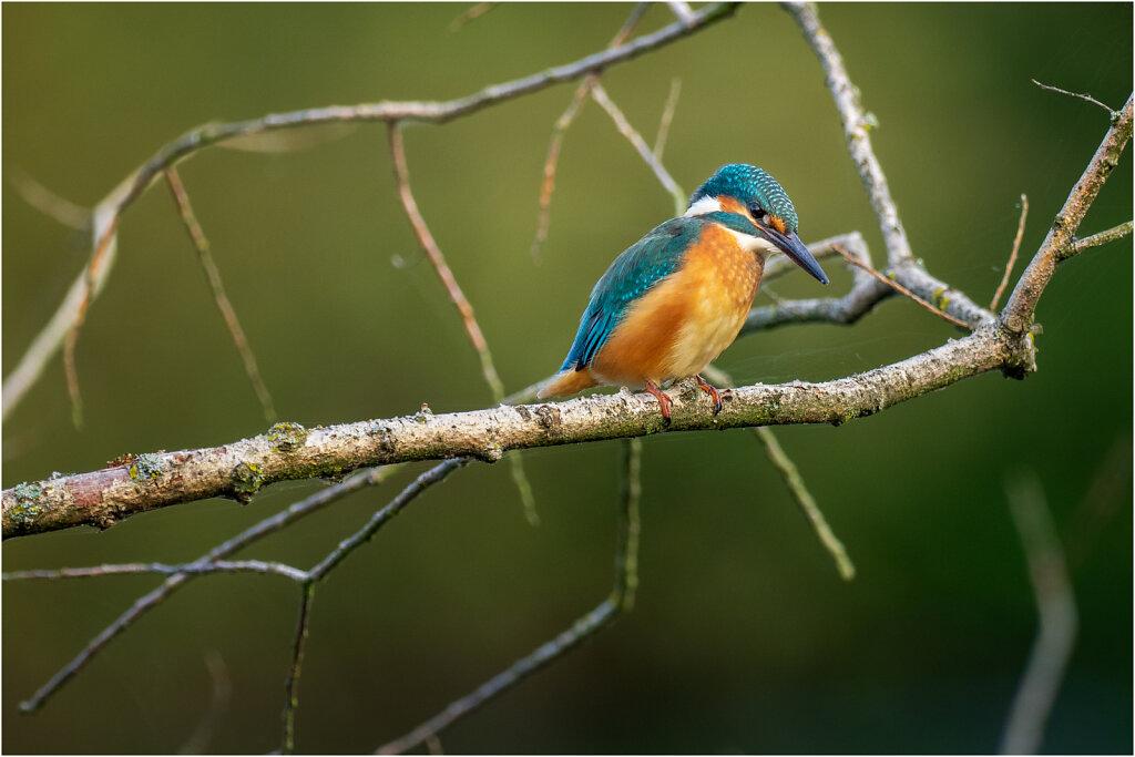Eisvogel-Kingfisher-Olympus-E-M1-034882-Bearbeitet.jpg