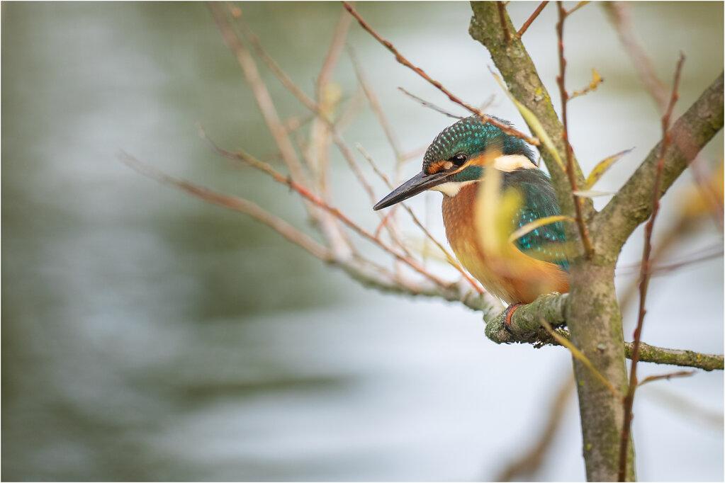 Eisvogel-Kingfisher-Olympus-E-M1034912-Bearbeitet.jpg