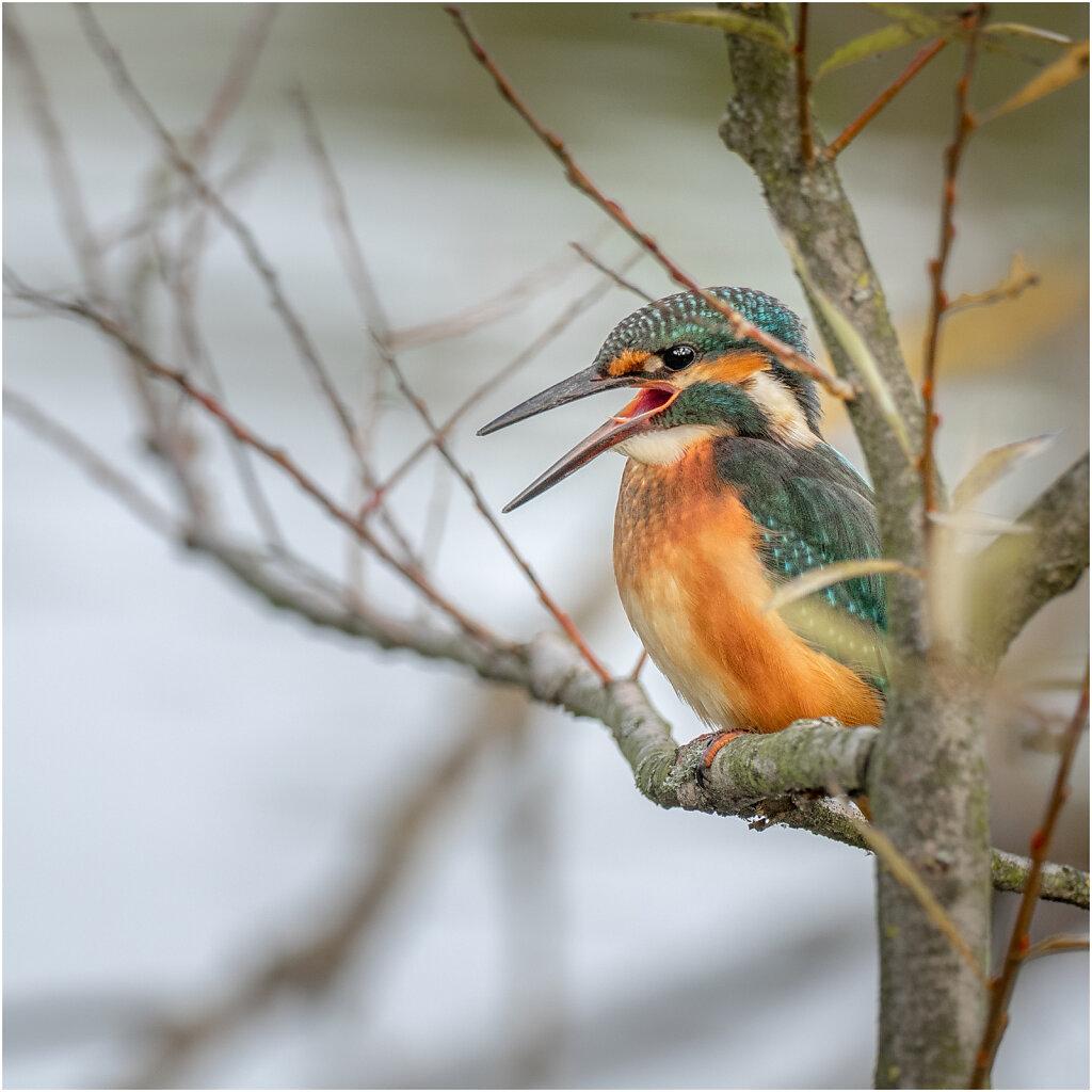 Eisvogel-Kingfisher-Olympus-E-M1-034932-Bearbeitet.jpg