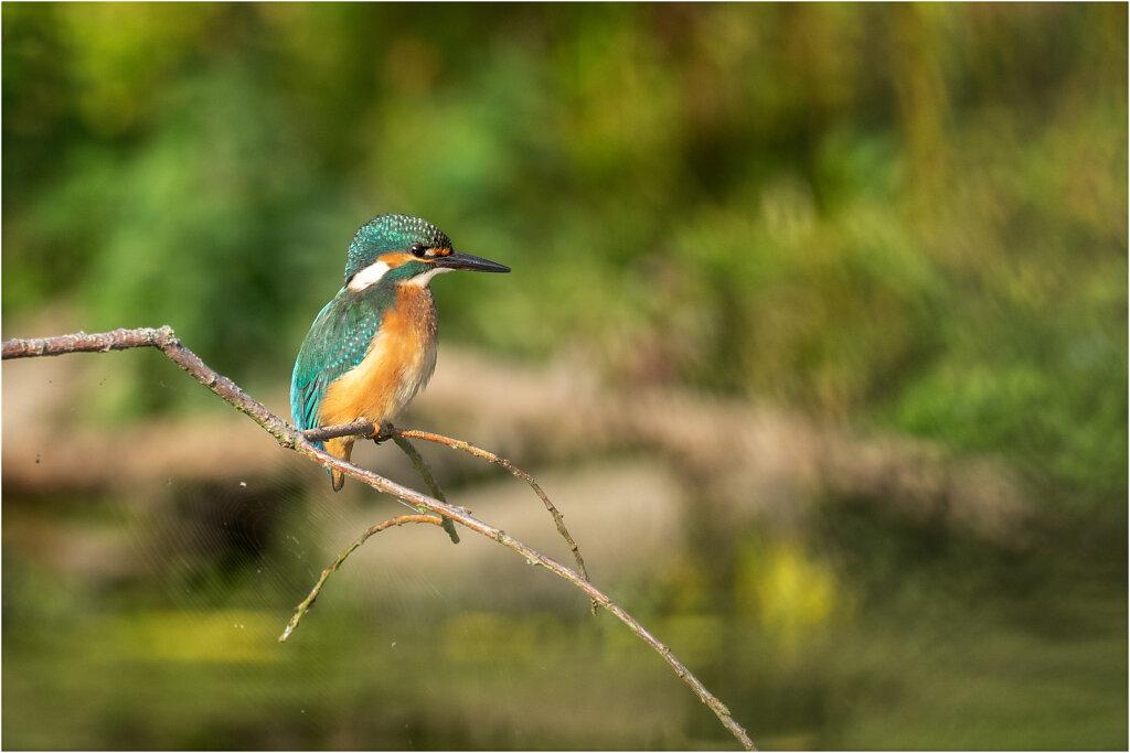 Eisvogel-Kingfisher-Olympus-E-M1-034976-Bearbeitet.jpg