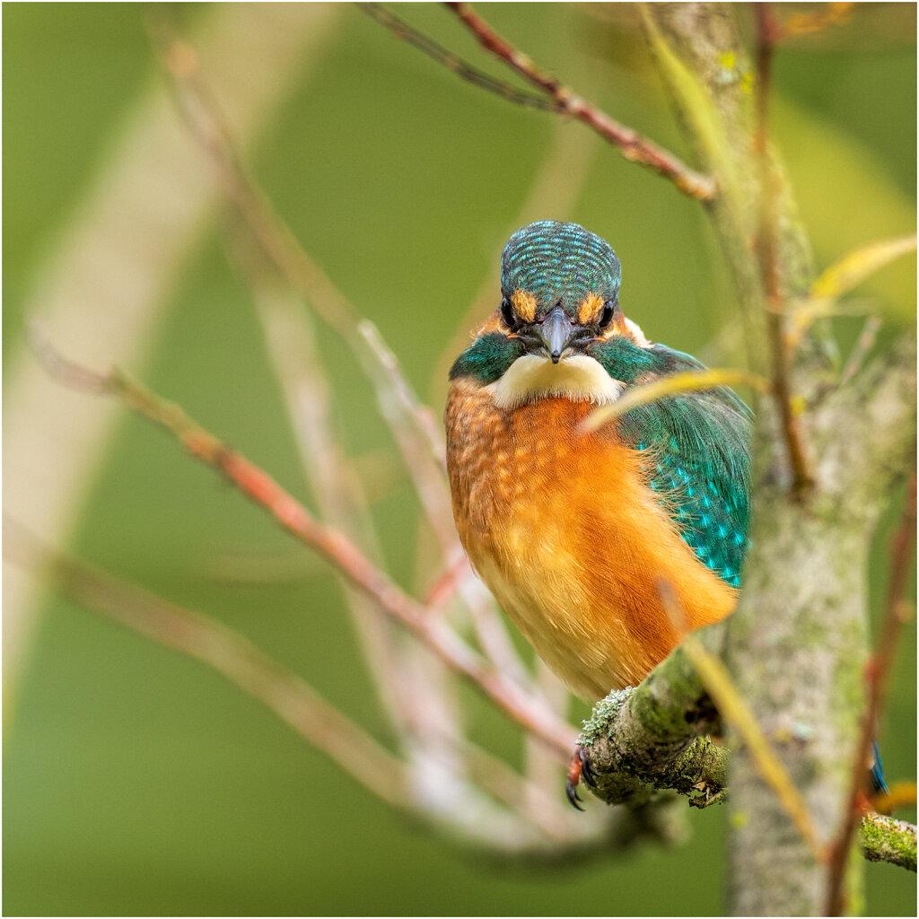Eisvogel-Kingfisher-Olympus-E-M1-035069-Bearbeitet.jpg