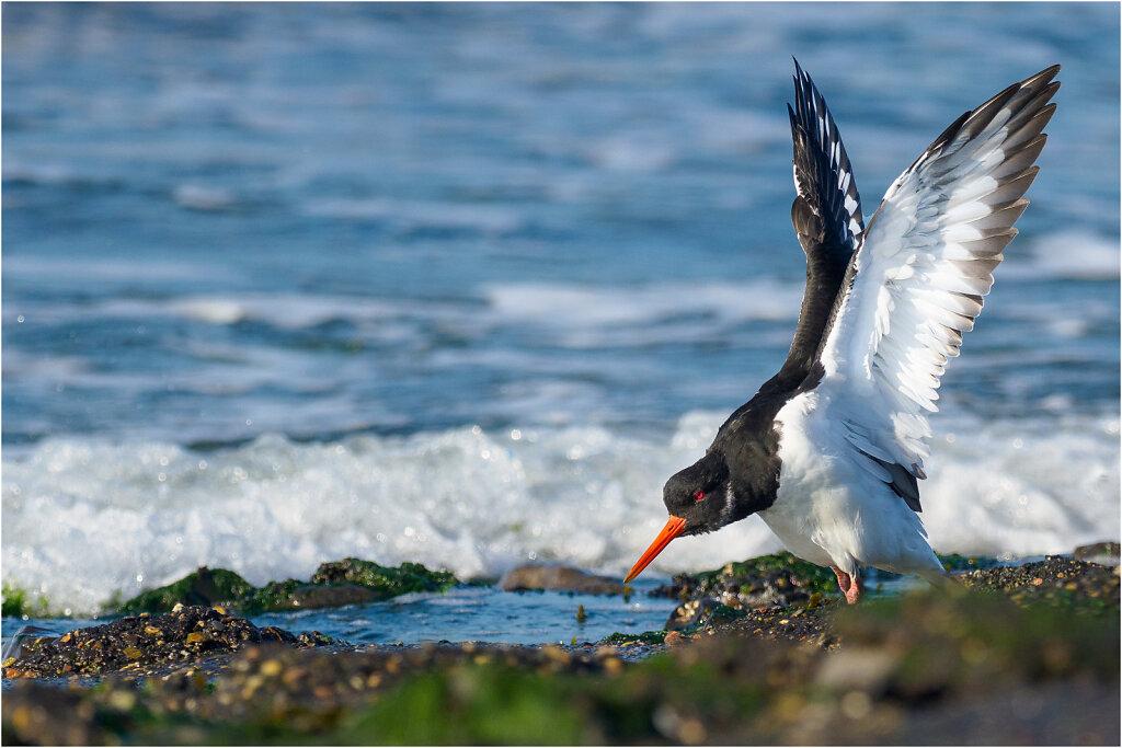 Austernfischer-Eurasian-oystercatcher-Olympus-E-M1MarkIIAusternfischer-217395-Bearbeitet-Bearbeitet.jpg