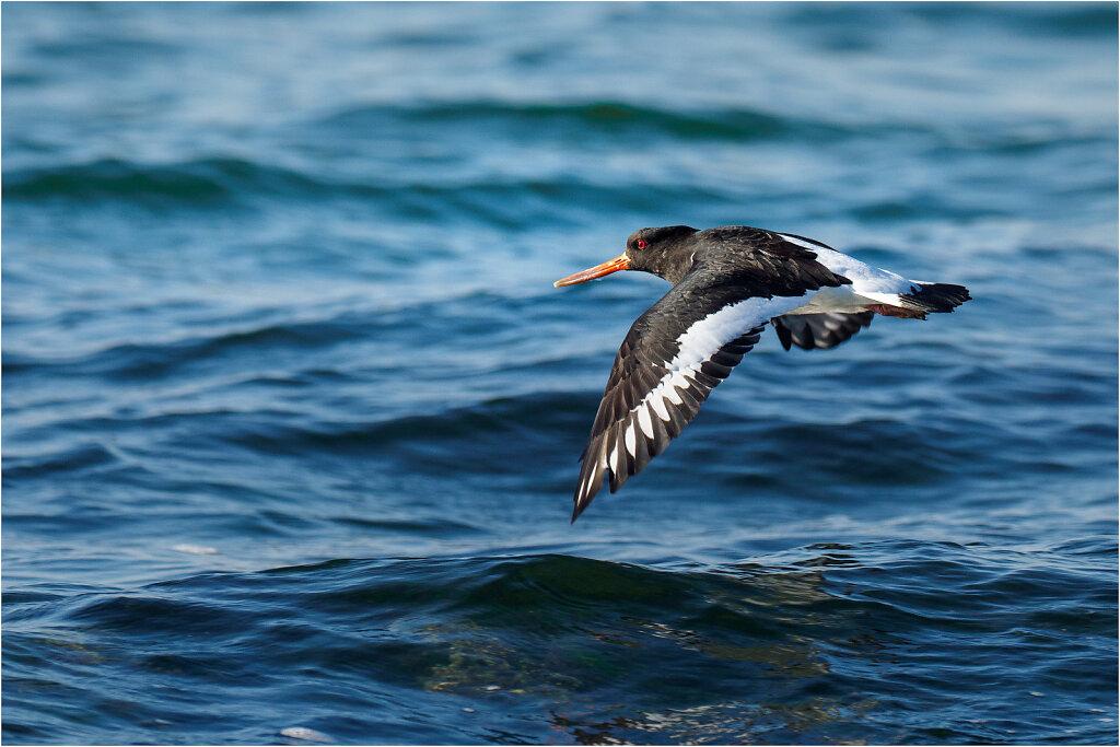 Austernfischer-Eurasian-oystercatcher-Olympus-E-M1MarkIIAusternfischer-217677-Bearbeitet-Bearbeitet.jpg