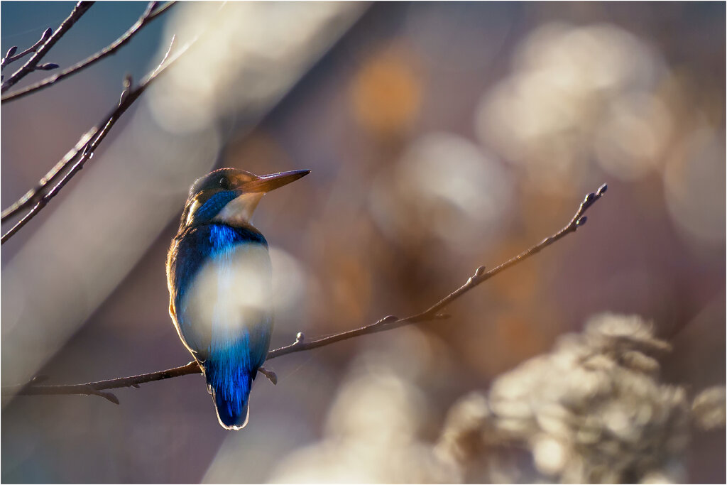 Eisvogel-Kingfisher-Olympus-E-M1MarkII-B181146-Bearbeitet-Bearbeitet.jpg