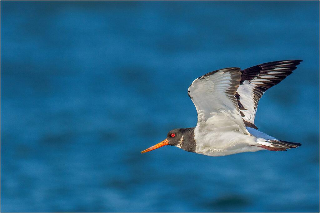 Austernfischer-Eurasian-oystercatcher-Olympus-E-M1MarkIIAusternfischer-217774-Bearbeitet-Bearbeitet.jpg