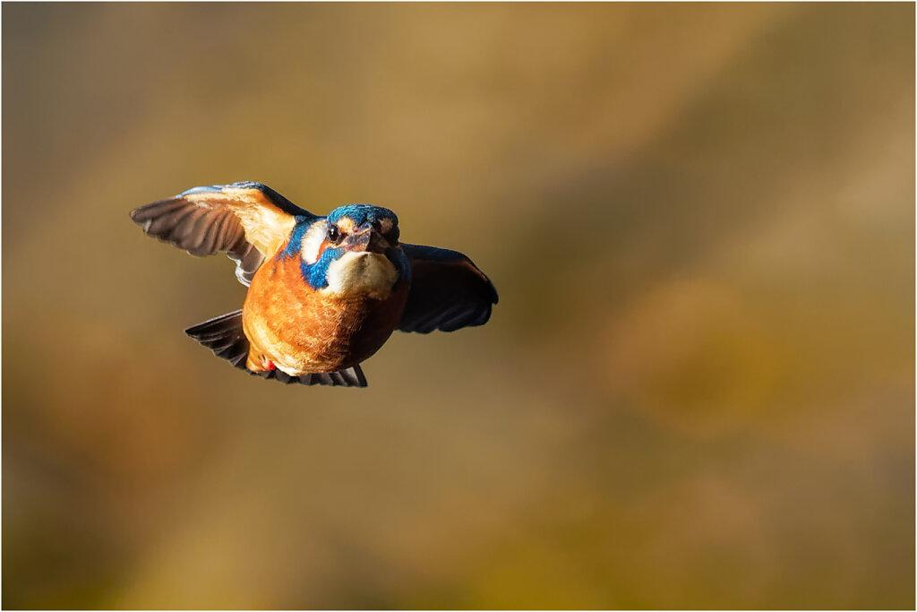 Eisvogel-Kingfisher-Olympus-E-M1MarkII-B181027-DxO-Bearbeitet.jpg
