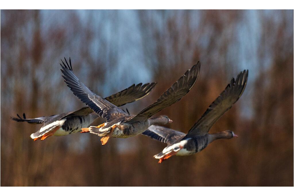 Blaessgans-Anser-albifrons-Greater-white-fronted-goose-Olympus-E-M1MarkII-Olympus-E-M1MarkII-1021913-25-33.jpg