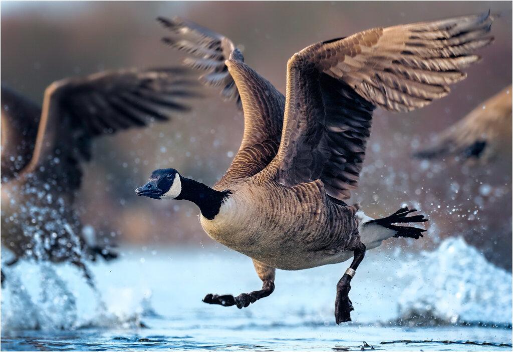 Kanadagans-Branta-canadensis-Canada-goose-Olympus-E-M1MarkII-2037226-74-75-84.jpg