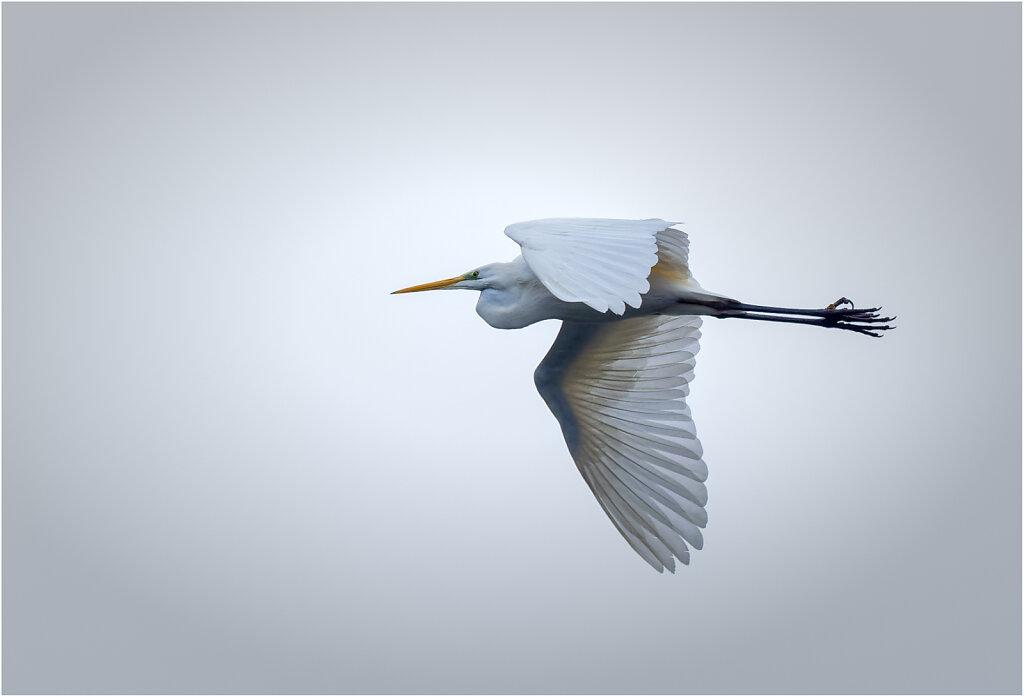 Silberreiher-Egretta-alba-Great-egret-Olympus-E-M1MarkII-1070029-DxO-Bearbeitet.jpg