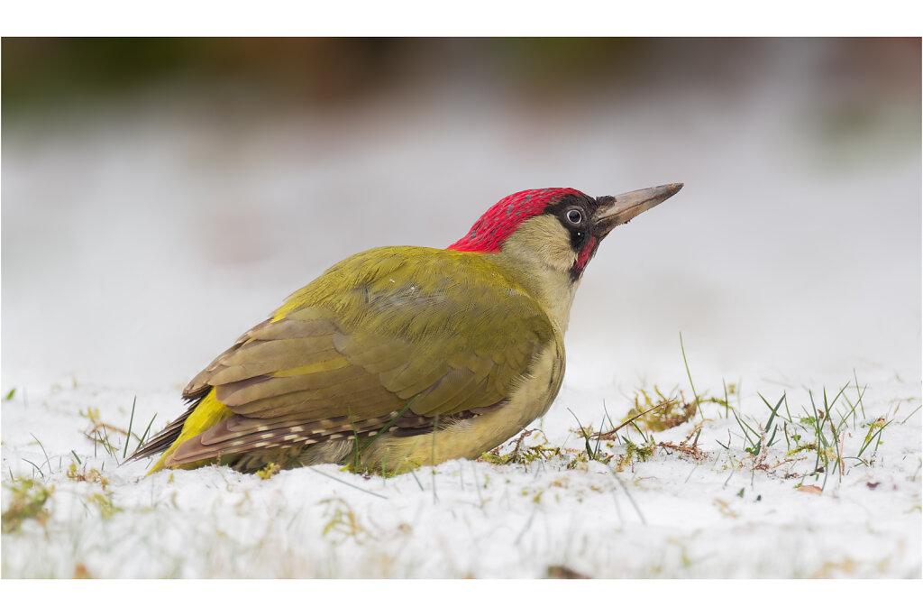 Grunspecht-Picus-viridis-European-green-woodpecker-Olympus-E-M1MarkII-3170192-DxO-Bearbeitet.jpg