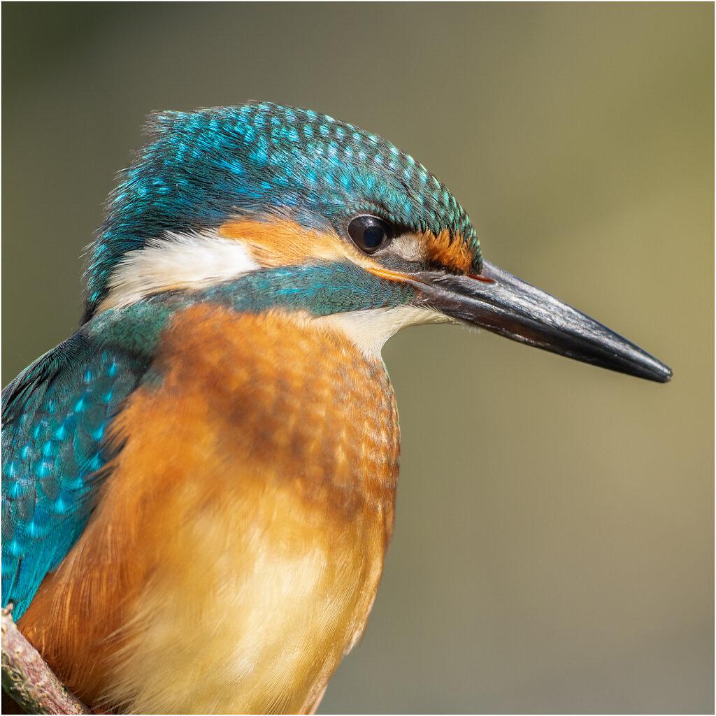Eisvogel-Kingfisher-Olympus-E-M1-035037-Bearbeitet.jpg