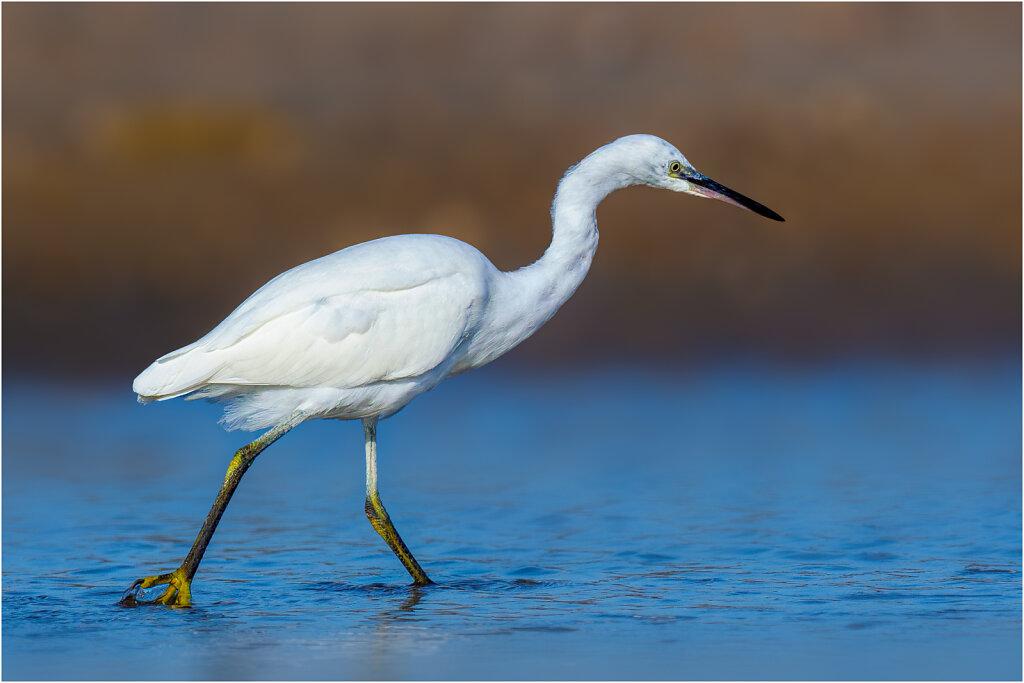 Seidenreiher - Little egret