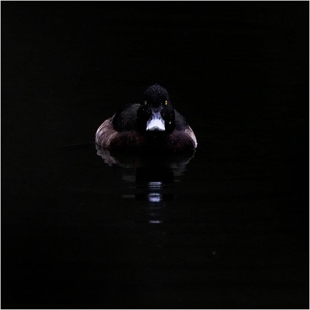 Reiherente-Tufted-duck-Olympus-E-M1MarkII-C311569-Bearbeitet.jpg