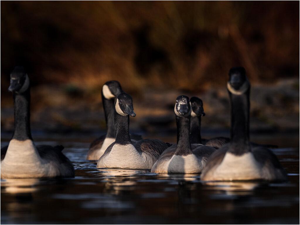 Kanadagans-Branta-canadensis-Canada-goose-Olympus-E-M1MarkII-2036573-87-90-91.jpg